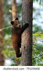 Brown bear cub hugging a tree.