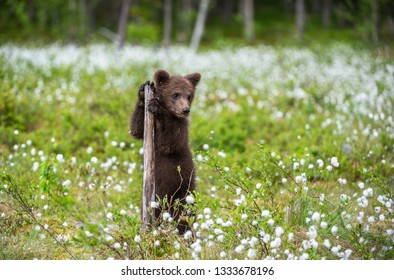Brown bear cub playing on the field among white flowers. Bear Cub stands on its hind legs. Scientific name: Ursus arctos. Bog with white flowers. Summer.