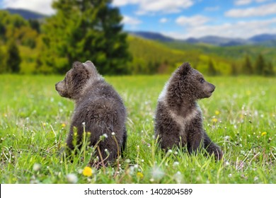 Brown bear cub playing on the summer mountain. Ursus arctos in grass with yellow flowers