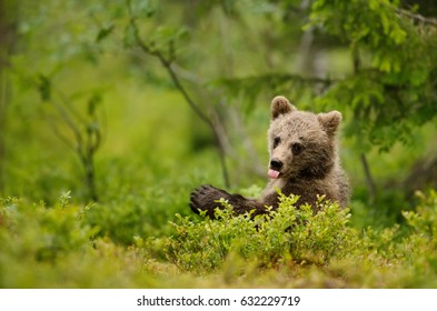 Brown bear cub sticking out the tong