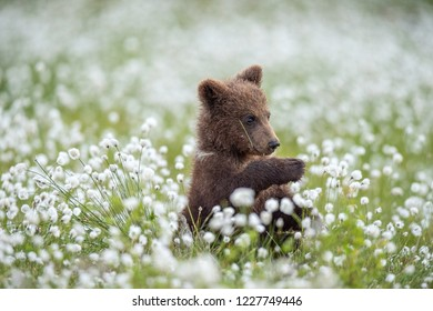 Brown bear cub in the summer forest among white flowers. Scientific name: Ursus arctos. Natural Green Background. Natural habitat.
