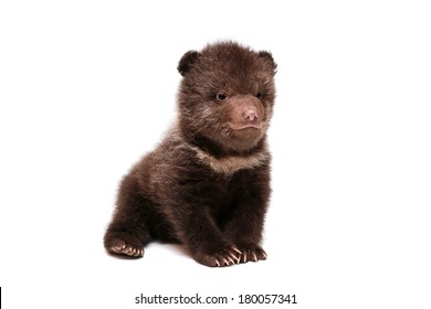 Brown Bear cub (Ursus arctos), 1,5 mounth old, isolated on the white background