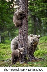 Brown bear cubs climbs a tree. She-bear and cubs in the summer forest. Brown bear. Scientific name: Ursus arctos. Summer season, natural habitat.