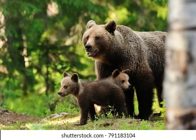 Brown bear with cubs. Bear family. Mother bear with cubs.