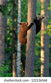 Brown bear cubs on tree