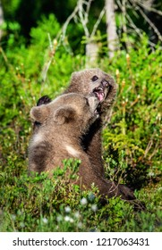 Brown Bear Cubs playfully fighting, Scientific name: Ursus Arctos Arctos. Summer green forest background. Natural habitat.