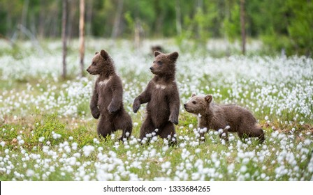 Brown bear cubs playing on the field among white flowers. Bear Cubs stands on its hind legs. Summer season. Scientific name: Ursus arctos.