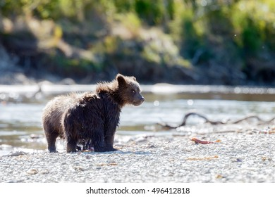Brown bear cubs standing in the river and chasing salmon
