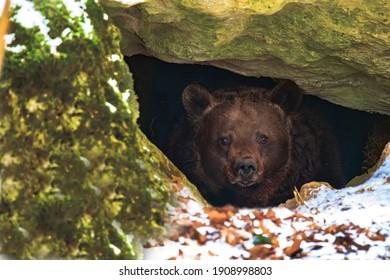 Brown bear in a den in its natural habitat - Shutterstock ID 1908998803
