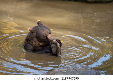 Brown bear is eating in the water in Bayerischer Wald National Park, Germany