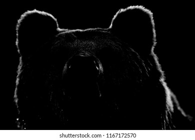 Brown bear face contour in black and white. Bear face on black background.