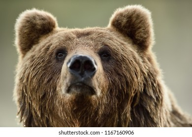 Brown bear face, portrait. Bear head closeup.