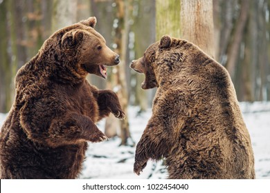 Brown bear fight in the forest