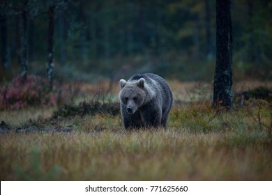 Brown bear in Finnish countryside. Autumn in Finland. Wildlife of Finland. Bear in the wild. A bear on a lake in Finland. Karelia Finland. Bear in the woods.