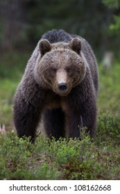 Brown bear in Finnish Tiaga forests