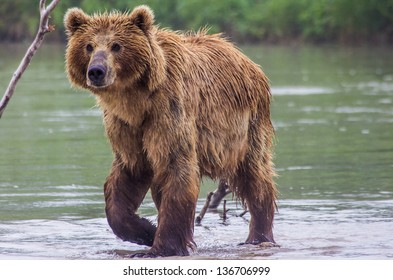 The brown bear fishes