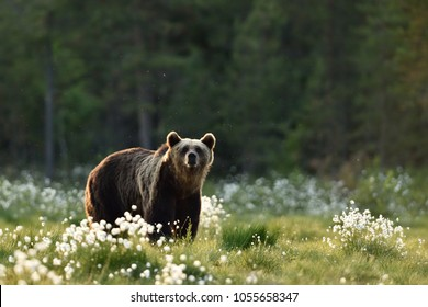 Brown bear in flourishing bog at summer