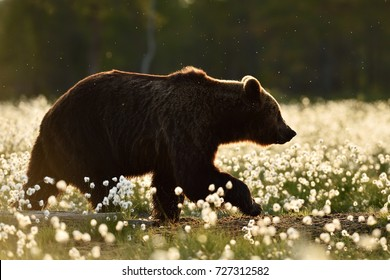 Brown bear in the flowering bog. European brown bear in the bog.
