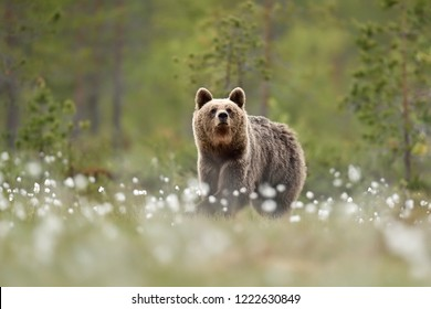 Brown bear in flowering cottongrass at summer