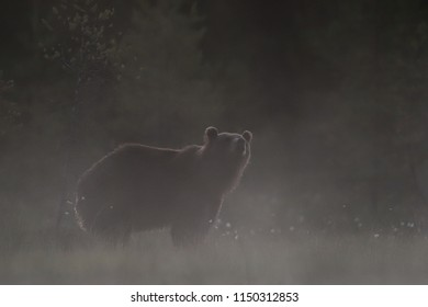 Brown bear in the fog, bear in misty bog late at night