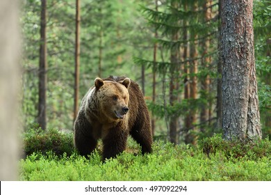 brown bear, forest background