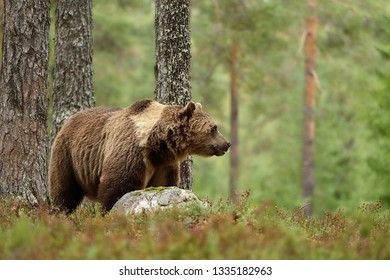 Brown bear in the forest background. Bear with the rock.