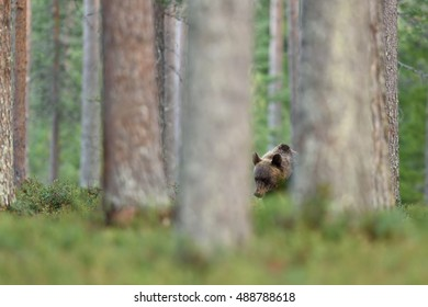 brown bear in forest between trees