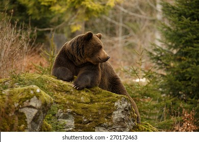 Ein brauner Bär im Wald. Großer brauner Bär. Bär sitzt auf einem Felsen. Ursus arctos.