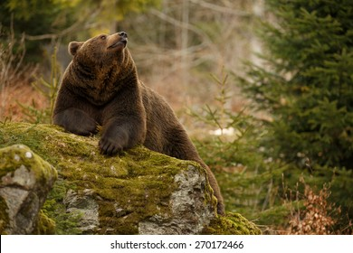 A brown bear in the forest. Big Brown Bear. Bear sits on a rock. Ursus arctos.