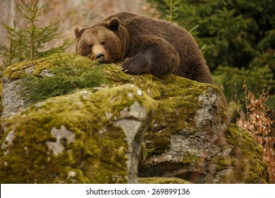 A brown bear in the forest. Big Brown Bear. Bear sleeping on top of a hill in the woods.