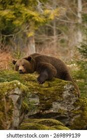 Ein brauner Bär im Wald. Großer brauner Bär. Bärenschlafen auf einem Hügel im Wald.