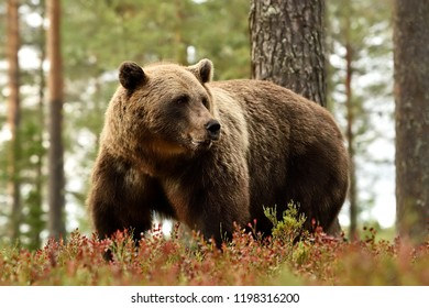Brown bear in a forest landscape