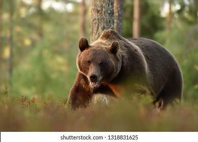 brown bear in forest landscape