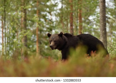 Brown bear in a forest landscape. Bear with forest background.