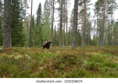Brown bear in forest landscape. Wide-angle view of brown bear in forest.