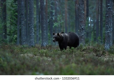 Brown bear in the forest late in the evening. Bear in forest landscape.