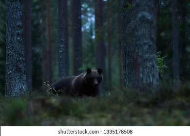 Brown bear in forest late in the evening. Bear at night in forest.
