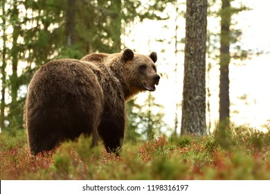 Brown bear in forest looking back