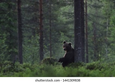 brown bear in forest with misty scenery