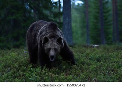brown bear in a forest at night. bear in the dark.