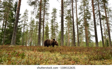 brown bear in forest scenery