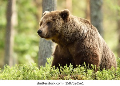 Brown bear in a forest scenery
