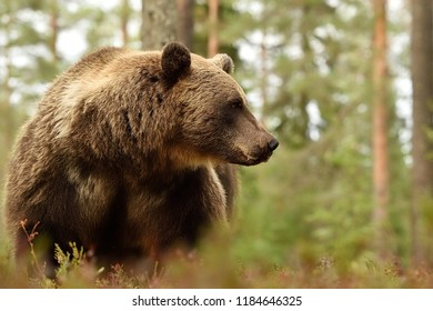 brown bear in forest, side view of bear