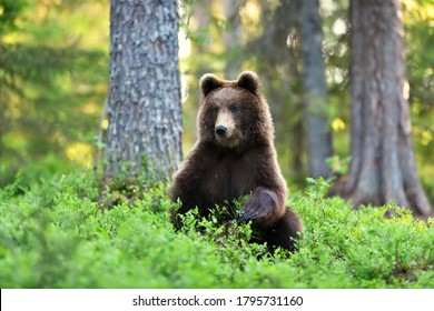 brown bear in the forest at summer