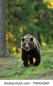 Brown bear in a forest at summer