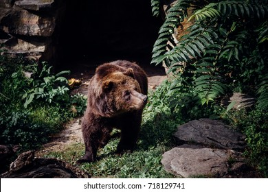 Brown bear in front of his cave