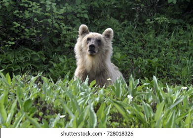 Brown bear in the grass, staring at the photographer