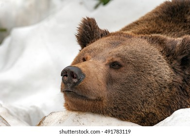 Brown bear brown grizzly looking atyyou on the snow background
