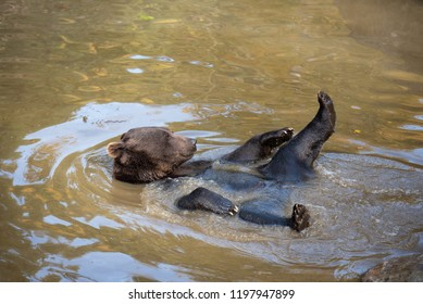 Brown bear is having a bath in the water in Bayerischer Wald National Park, Germany