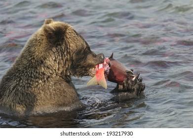 Brown bear having a dinner at South Kamchatka national reserve, Russia